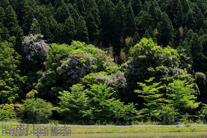山藤と新緑のコラボが最高 .。・:*:・゚`☆、。 5月15日_c0067206_1284063.jpg