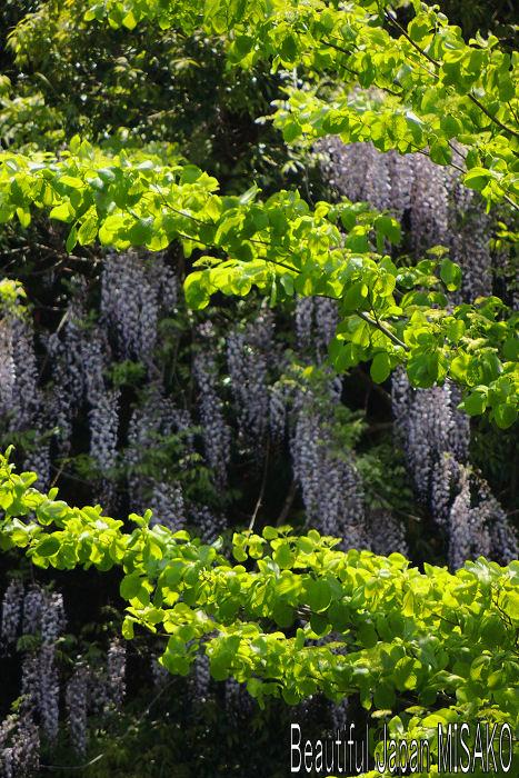 山藤と新緑のコラボが最高 .。・:*:・゚`☆、。 5月15日_c0067206_129130.jpg