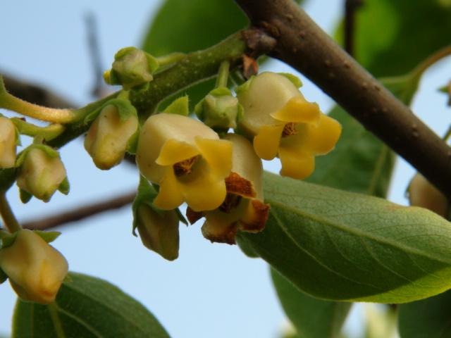 柿の花(雌花・雄花の写真と説明)・・・2013/5/20_f0231709_20571116.jpg