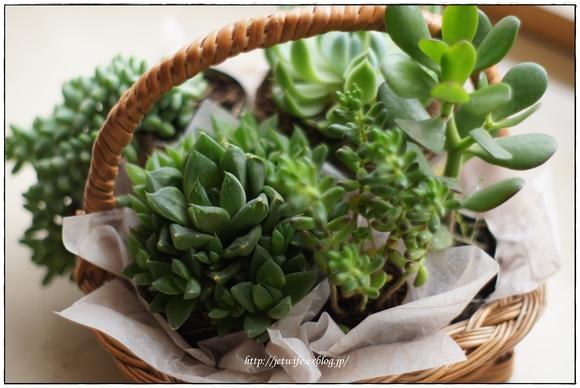 ぷっくり多肉植物とハンギング・ミント_a0254243_842166.jpg