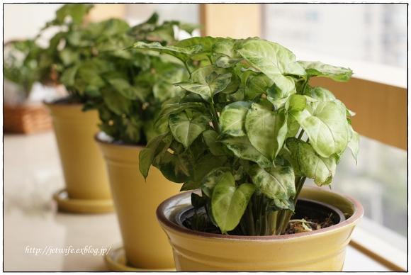 ぷっくり多肉植物とハンギング・ミント_a0254243_864521.jpg