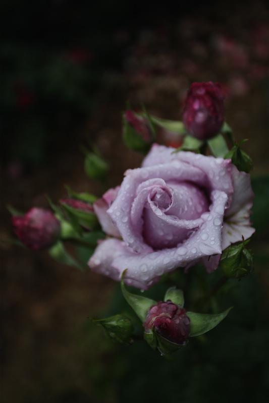 特定保健指導の実施から三ヶ月が経過 お庭にはバラが咲いています。_b0014152_6494176.jpg