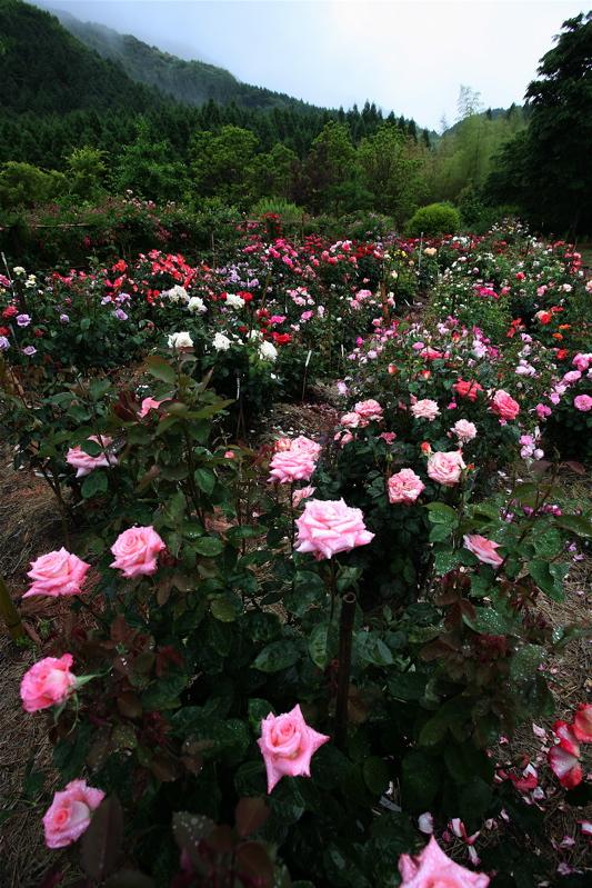 特定保健指導の実施から三ヶ月が経過 お庭にはバラが咲いています。_b0014152_6495322.jpg