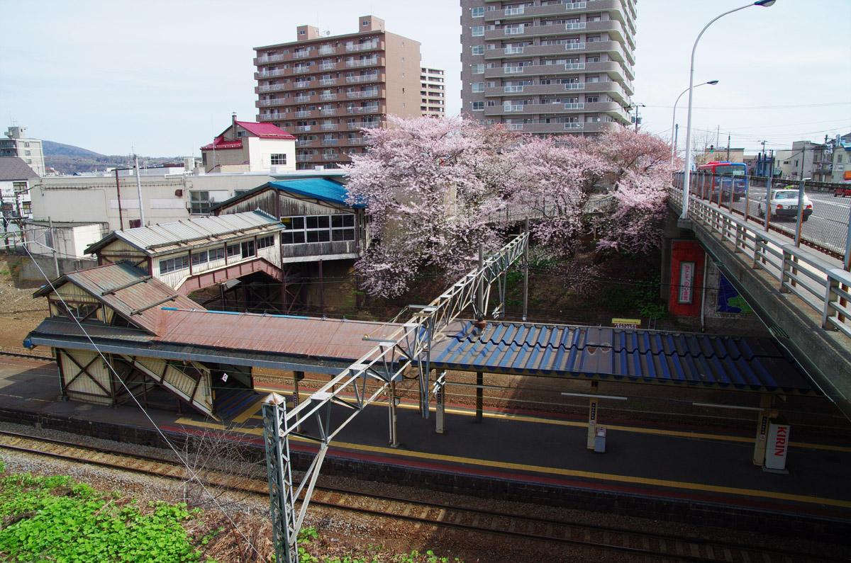 小樽桜めぐり2013  #01_b0103798_5195834.jpg