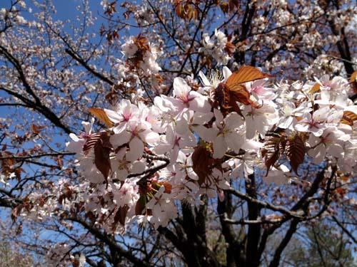 桜咲いたぞ~♪_f0096216_21131554.jpg
