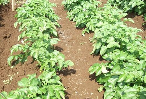 3度目の土寄せ...後は成長を待つだけです。_b0137932_18151698.jpg