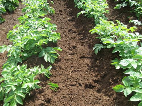 3度目の土寄せ...後は成長を待つだけです。_b0137932_18155594.jpg