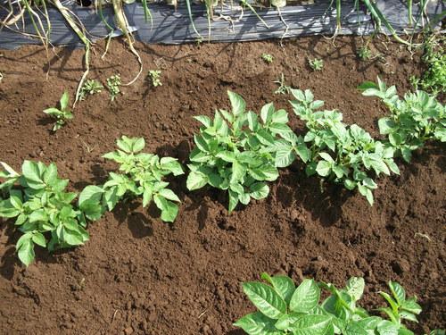3度目の土寄せ...後は成長を待つだけです。_b0137932_18174990.jpg