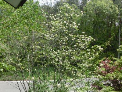 アオダモの花、満開です♪_f0019247_1573788.jpg
