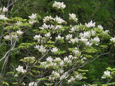アオダモの花、満開です♪_f0019247_1582569.jpg
