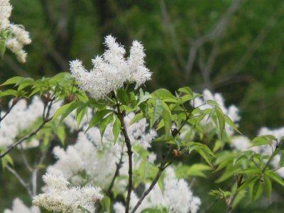 アオダモの花、満開です♪_f0019247_1585467.jpg