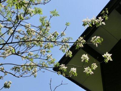 アオダモの花、満開です♪_f0019247_1593190.jpg