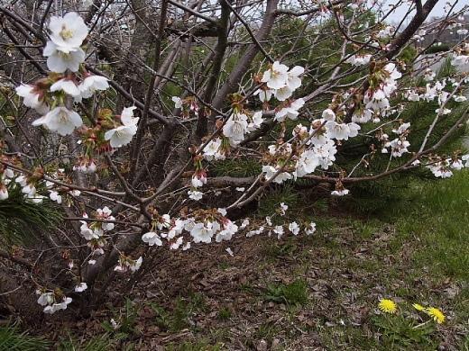 2013年5月22日(水):いよいよサクラが咲き始める[中標津町郷土館]_e0062415_18583659.jpg