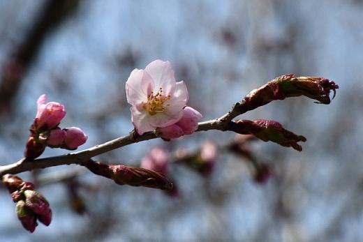 2013年5月22日(水):いよいよサクラが咲き始める[中標津町郷土館]_e0062415_18593751.jpg