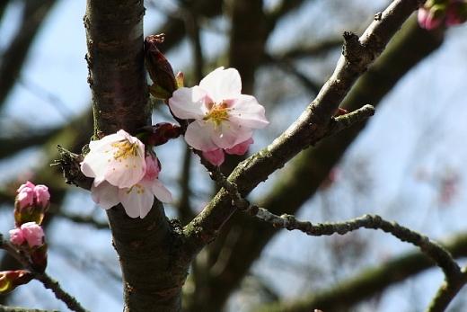 2013年5月22日(水):いよいよサクラが咲き始める[中標津町郷土館]_e0062415_18595769.jpg