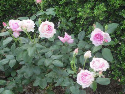 薔薇のカフェ_c0223630_22383255.jpg