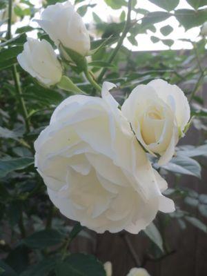 薔薇のカフェ_c0223630_22383345.jpg