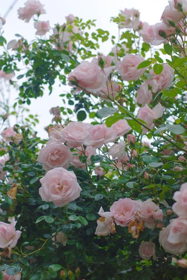 フローラフローラお隣のお隣のバラの季節!_a0115684_23324681.jpg