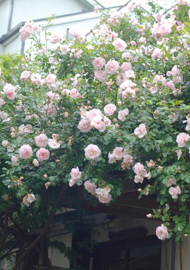 フローラフローラお隣のお隣のバラの季節!_a0115684_23345038.jpg