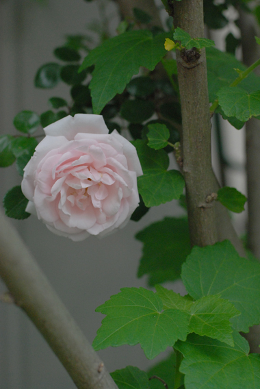 フローラフローラお隣のお隣のバラの季節!_a0115684_23361880.jpg