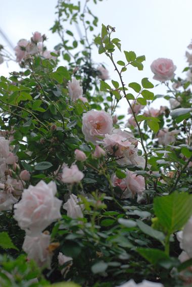 フローラフローラお隣のお隣のバラの季節!_a0115684_23364461.jpg