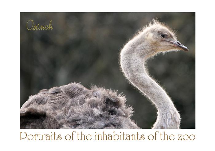 ダチョウ:Ostrich_b0249597_5112740.jpg