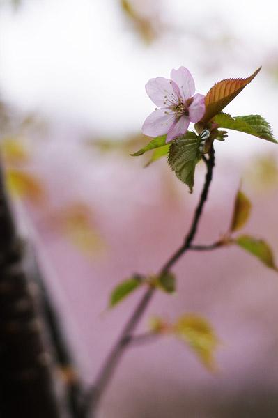 小樽桜めぐり2013  #04_b0103798_21491224.jpg