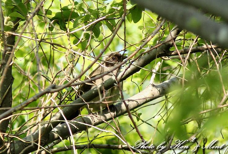 珍鳥 外来種 「カオグロガビチョウ」 さん♪_e0218518_22542119.jpg