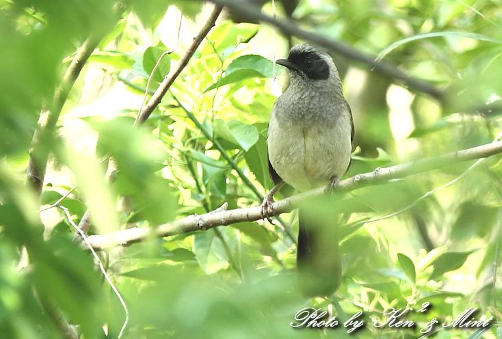 珍鳥 外来種 「カオグロガビチョウ」 さん♪_e0218518_22543150.jpg