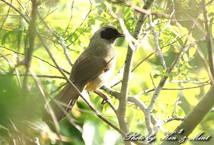 珍鳥 外来種 「カオグロガビチョウ」 さん♪_e0218518_22544024.jpg
