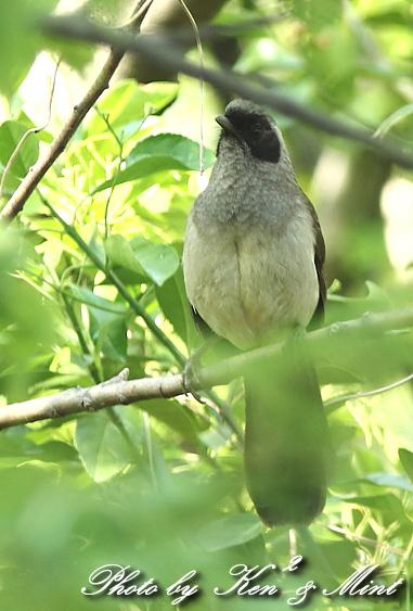 珍鳥 外来種 「カオグロガビチョウ」 さん♪_e0218518_22545121.jpg