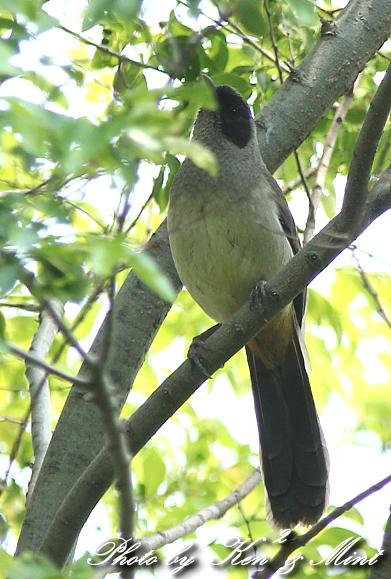 珍鳥 外来種 「カオグロガビチョウ」 さん♪_e0218518_2255112.jpg