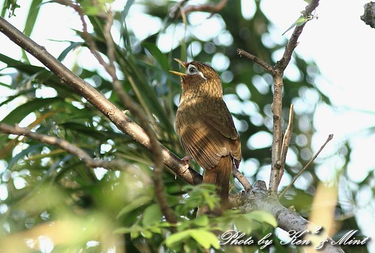 珍鳥 外来種 「カオグロガビチョウ」 さん♪_e0218518_22551639.jpg