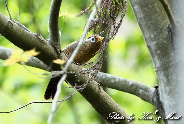 珍鳥 外来種 「カオグロガビチョウ」 さん♪_e0218518_22552818.jpg