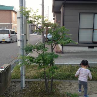 ヤマモミジの剪定_a0210340_2045689.jpg
