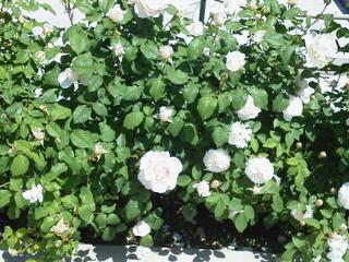 薔薇のオープンガーデンに出店_f0255704_105517100.jpg