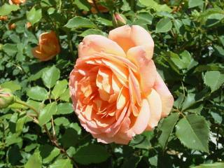 薔薇のオープンガーデンに出店_f0255704_10551723.jpg