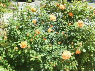 薔薇のオープンガーデンに出店_f0255704_10551727.jpg