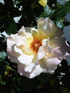 薔薇のオープンガーデンに出店_f0255704_10551739.jpg