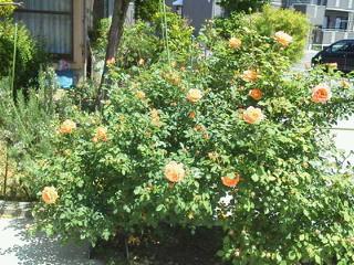 薔薇のオープンガーデンに出店_f0255704_10551743.jpg