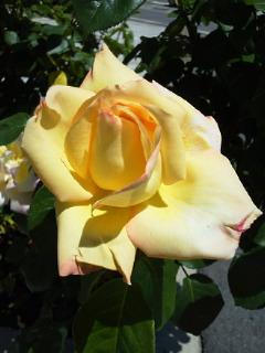 薔薇のオープンガーデンに出店_f0255704_10551747.jpg