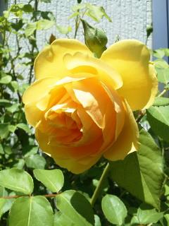 薔薇のオープンガーデンに出店_f0255704_10551772.jpg
