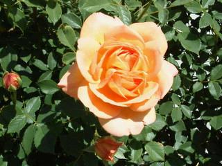 薔薇のオープンガーデンに出店_f0255704_10551790.jpg