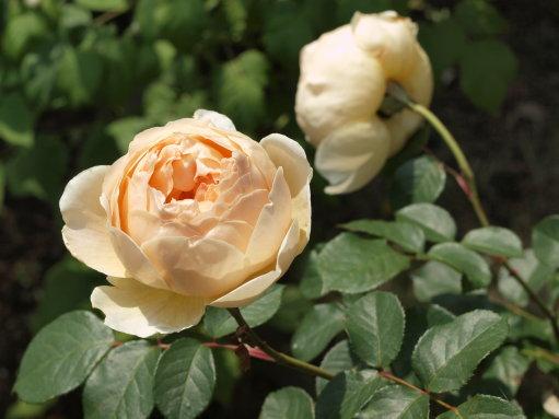 コーンな花のスープとバラのJ.オブスキュア_b0254207_11334944.jpg
