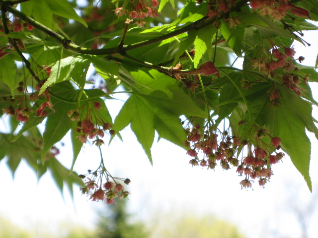 新緑の季節「紅葉の花」_f0146620_11434212.jpg