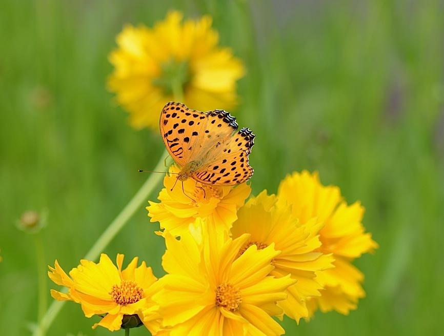 よく見る蝶たち−−ツマグロヒョウモンほか(2013年5月24日) _d0303129_2124357.jpg