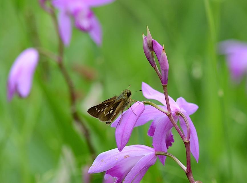 よく見る蝶たち−−ツマグロヒョウモンほか(2013年5月24日) _d0303129_2125992.jpg