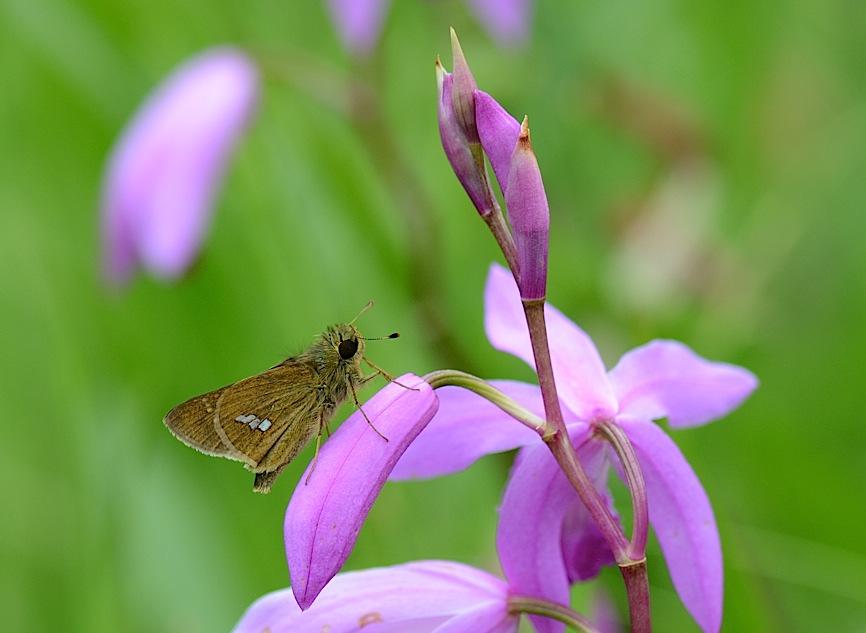 よく見る蝶たち−−ツマグロヒョウモンほか(2013年5月24日) _d0303129_2132661.jpg