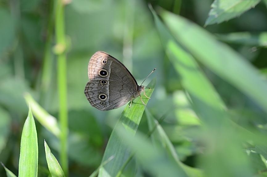 よく見る蝶たち−−ツマグロヒョウモンほか(2013年5月24日) _d0303129_2134027.jpg