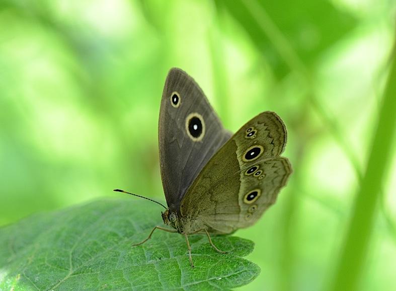 よく見る蝶たち−−ツマグロヒョウモンほか(2013年5月24日) _d0303129_2135428.jpg